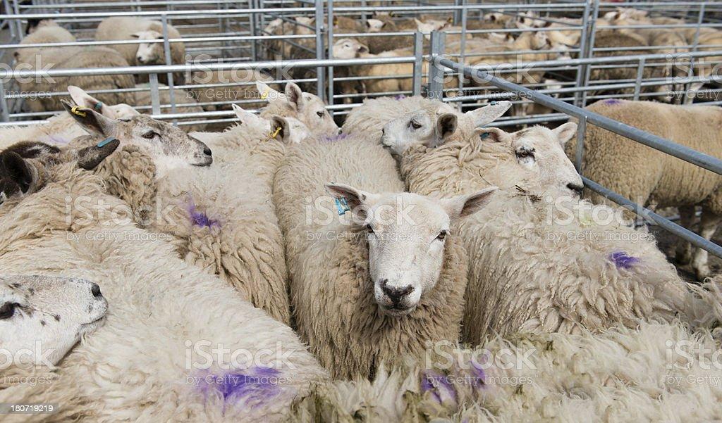 Sheep pen royalty-free stock photo