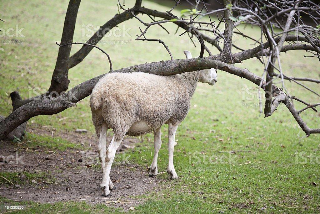 Sheep royalty-free stock photo