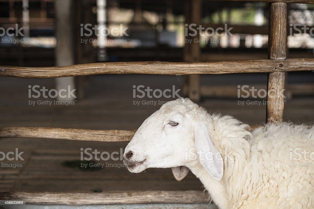 Owca zbiór zdjęć royalty-free