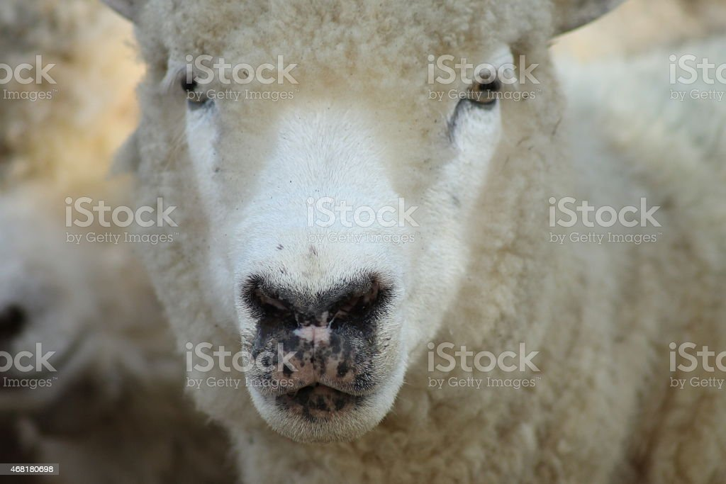 oveja stock photo