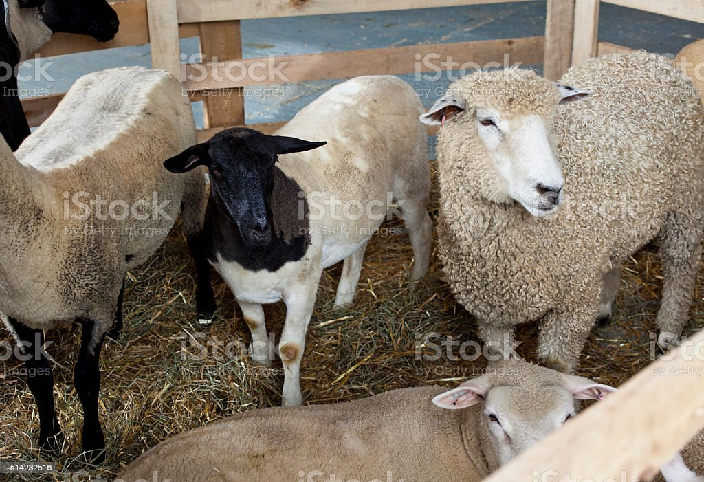 Sheep stock photo