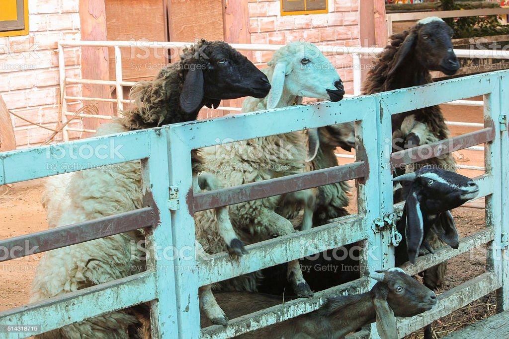 Sheep stock photo
