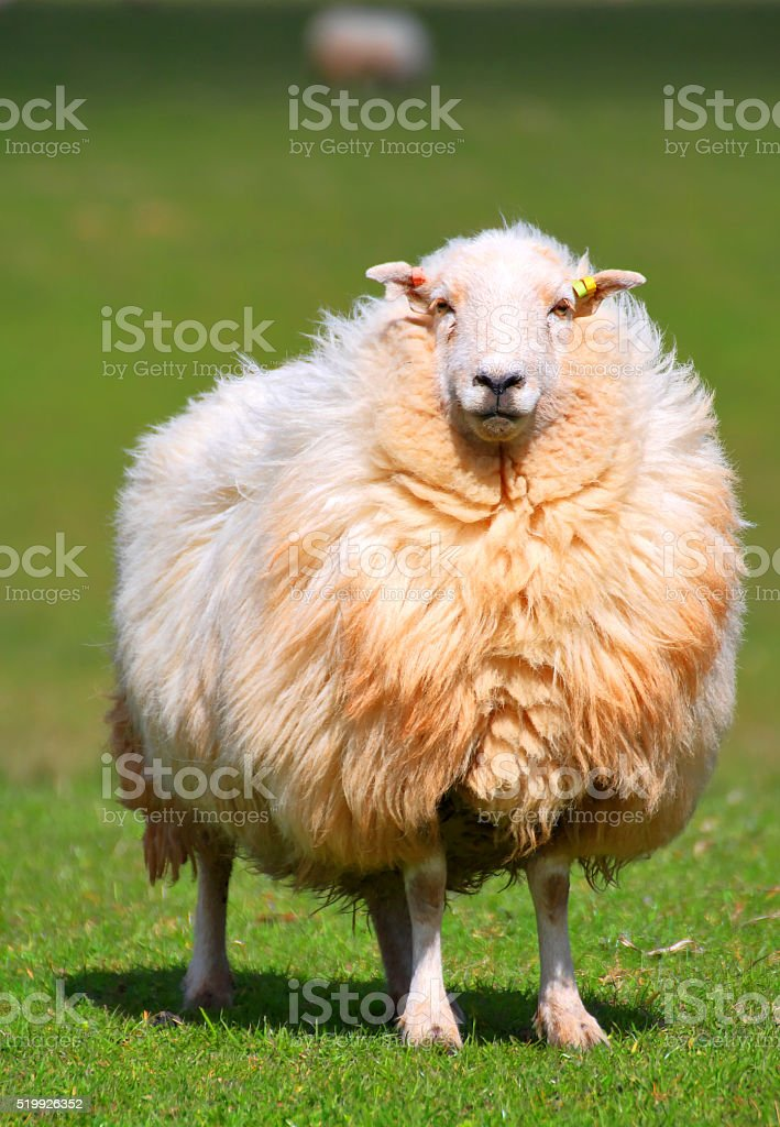 sheep. stock photo