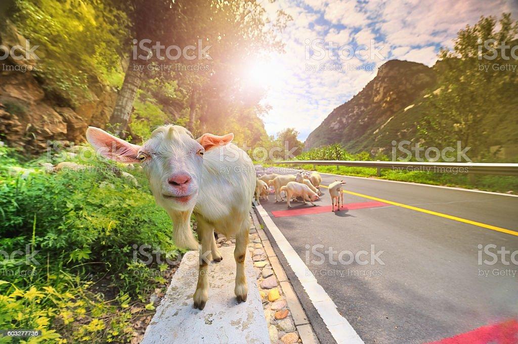 sheep, stock photo
