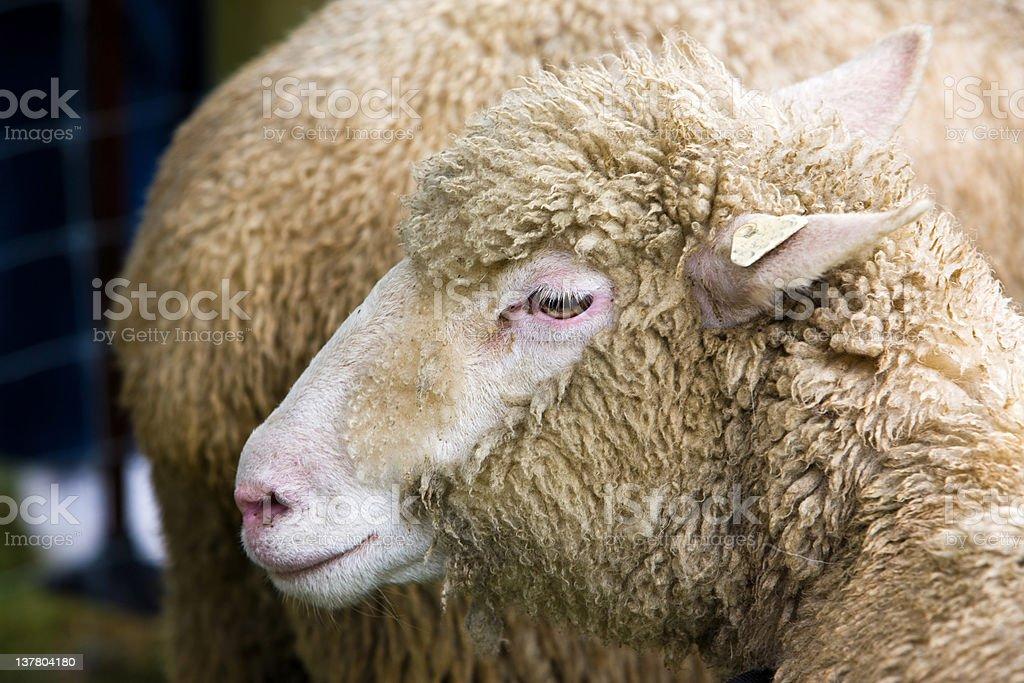 Sheep Portrait royalty-free stock photo