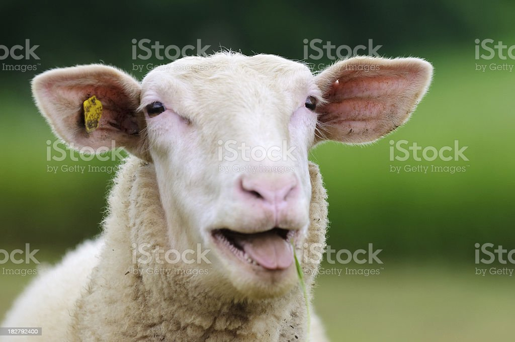 Sheep Portrait royalty-free stock photo