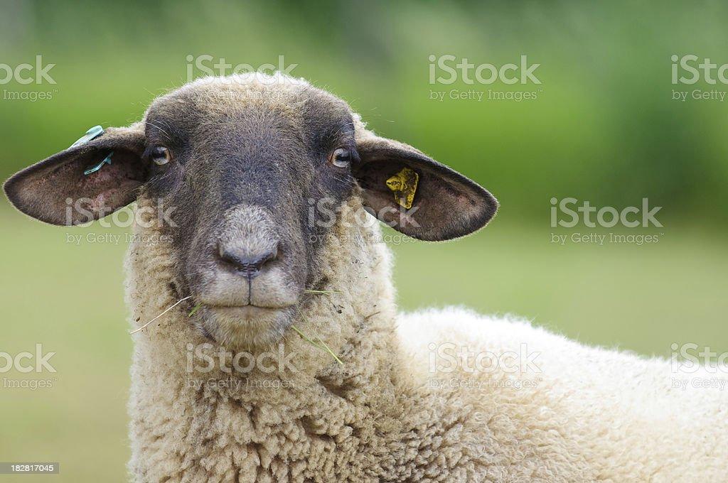 Sheep Portrait stock photo