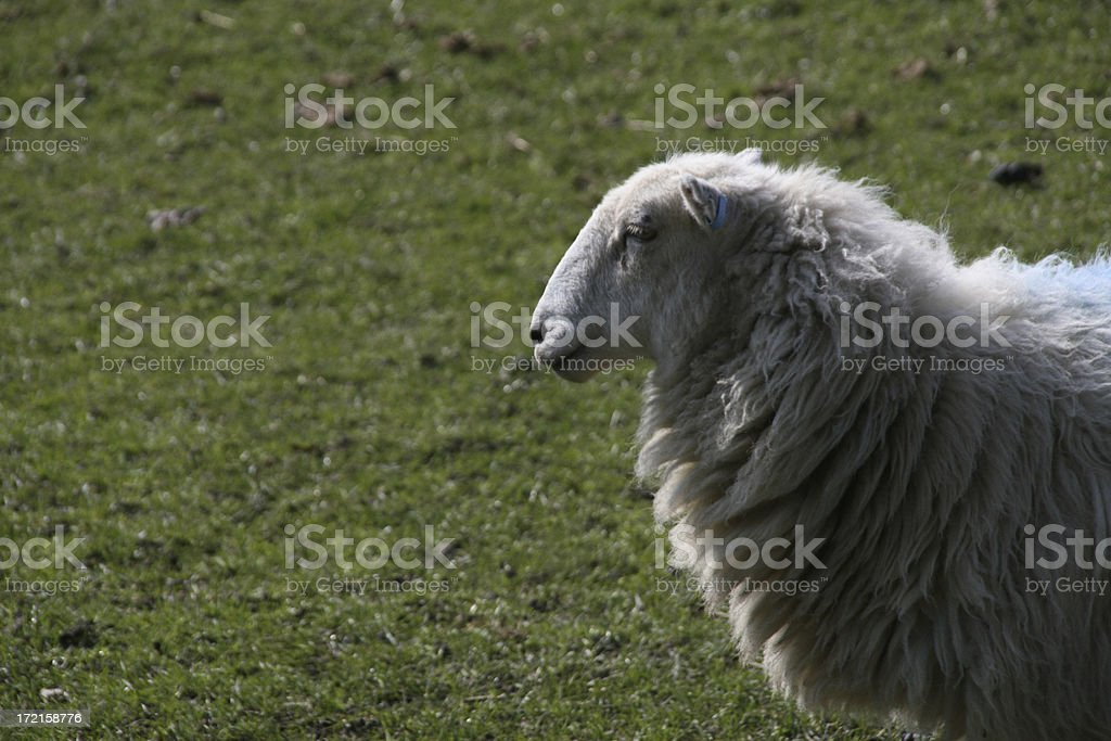 Sheep profile against grass stock photo