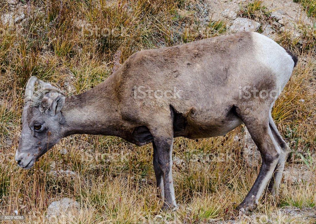 Sheep Profile on Mount Evans stock photo