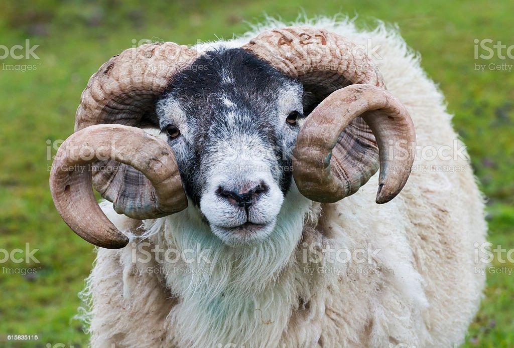 Sheep Ram Horn stock photo