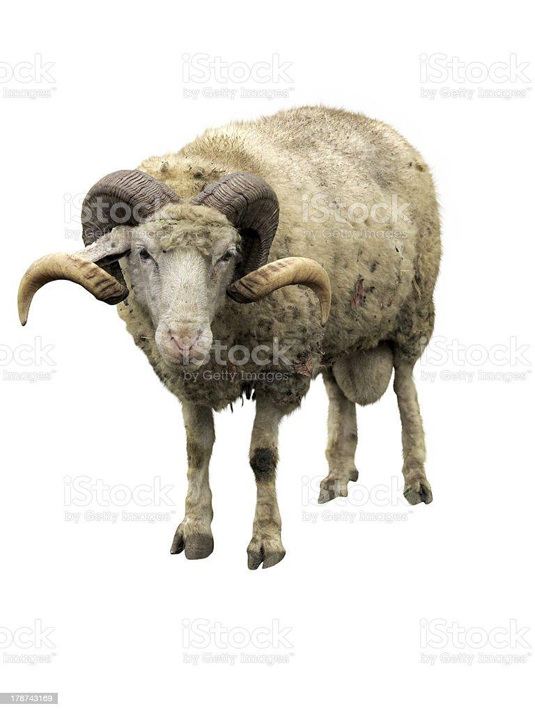 Ovelha ram com sopro isolado sobre o branco foto de stock royalty-free