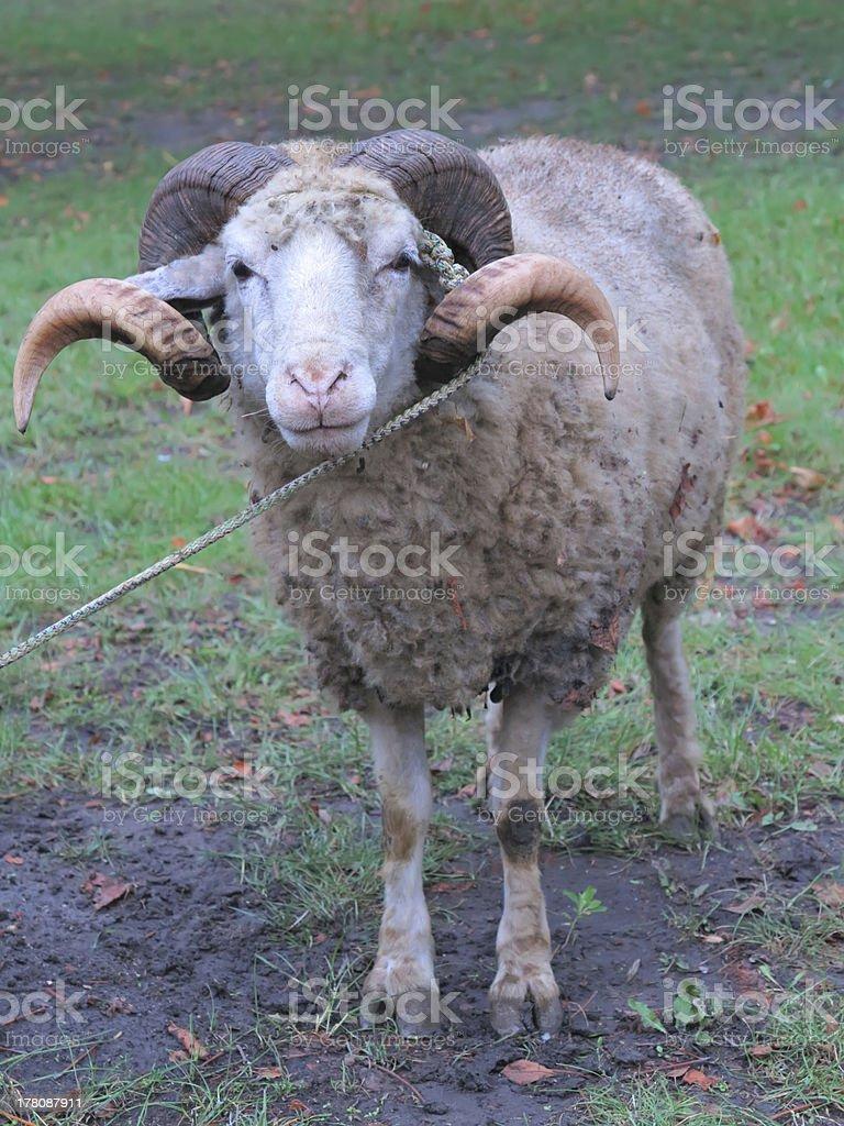 Ovelha ram com Sopro de relva verde foto de stock royalty-free