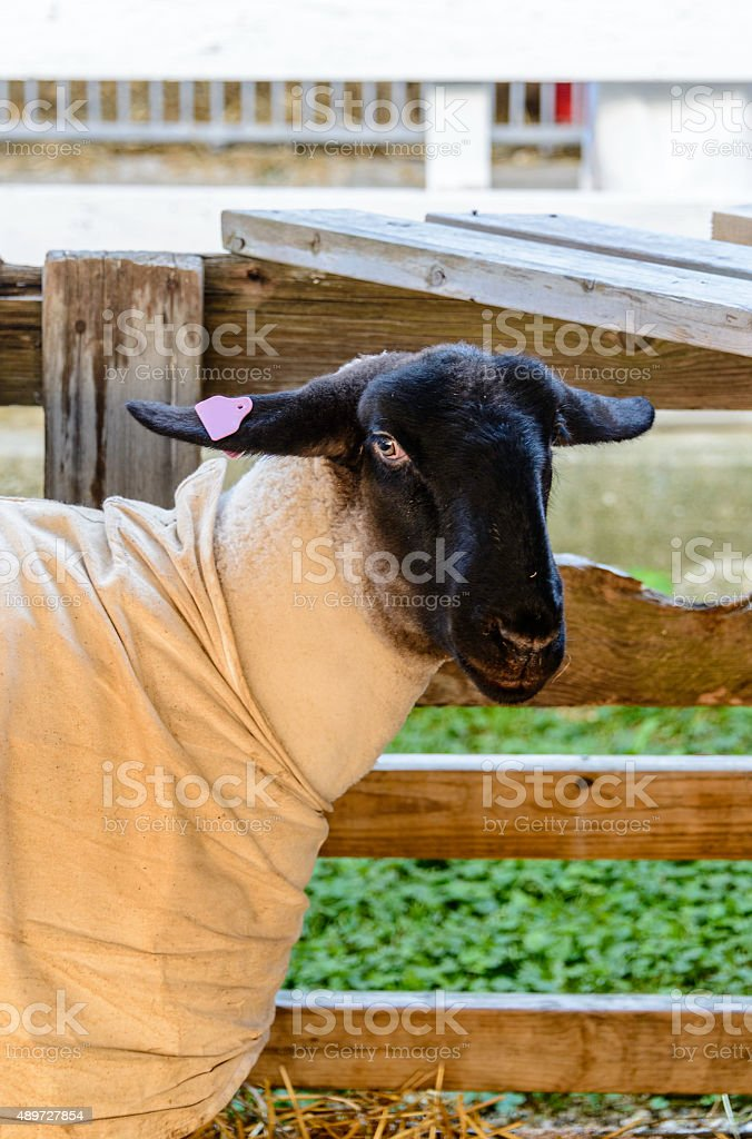Sheep ready for showing stock photo