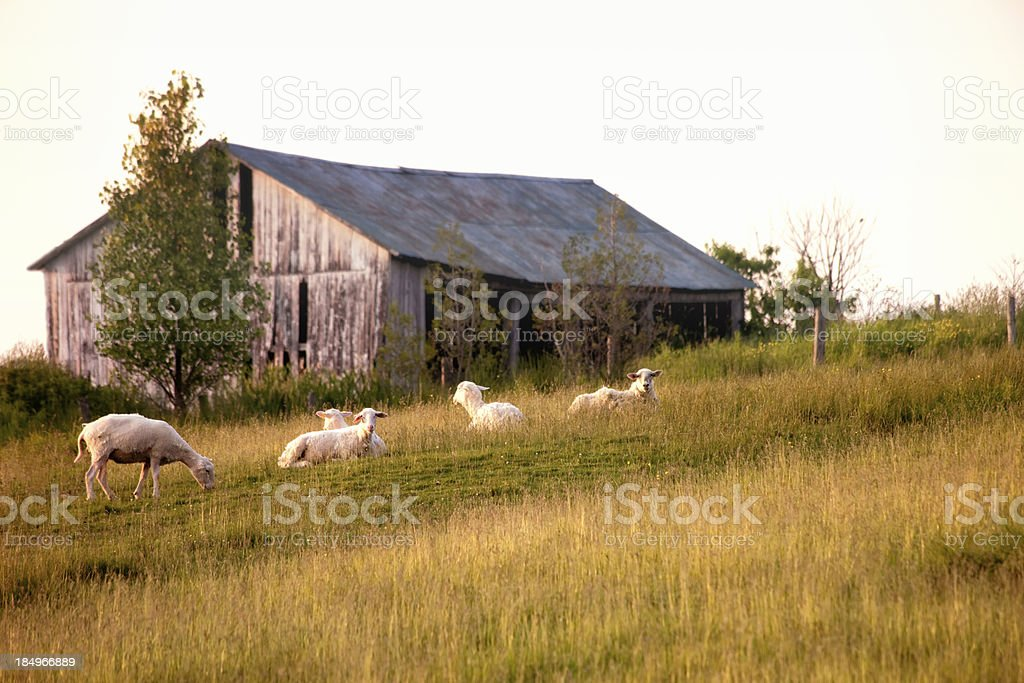 Sheep resting in front of an old barn royalty-free stock photo
