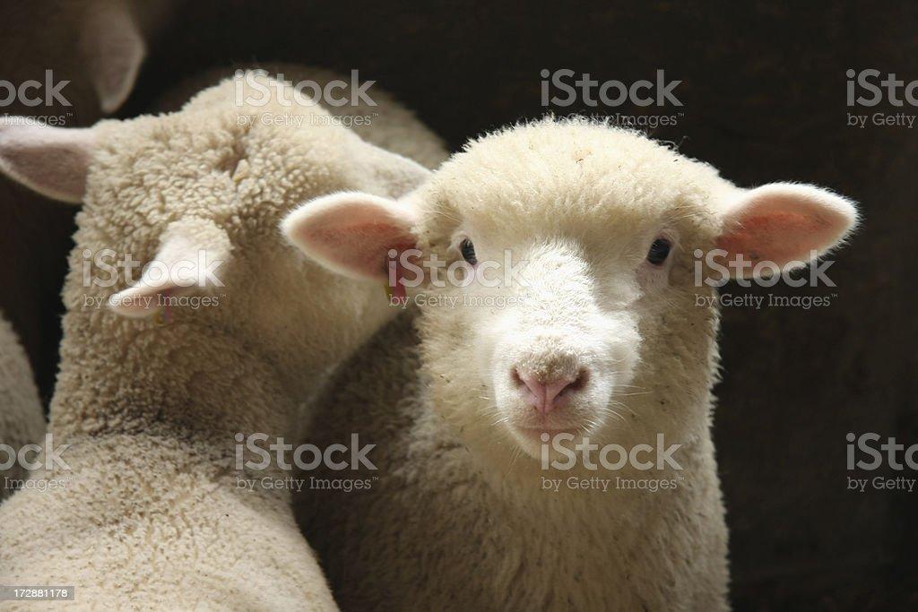 Sheep Secrets royalty-free stock photo