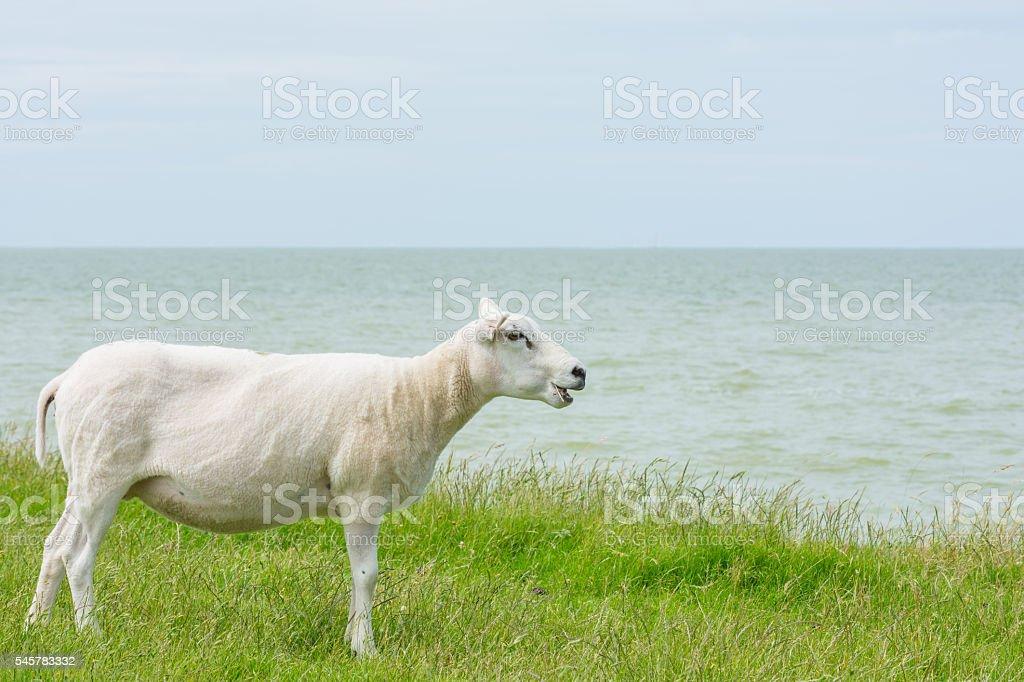 Sheep seems talking stock photo