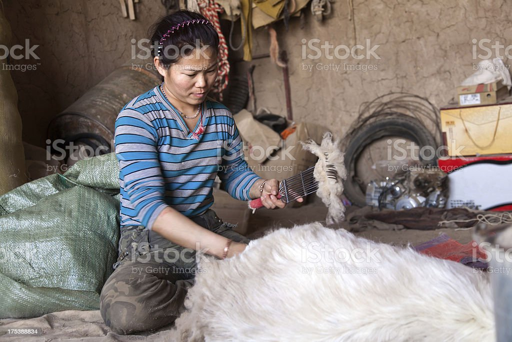sheep shearing in home royalty-free stock photo