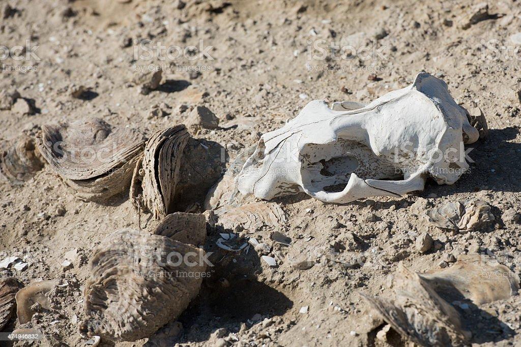sheep skull and bones on the ground stock photo