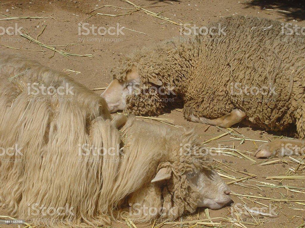 Sheep sleeping and laying down royalty-free stock photo
