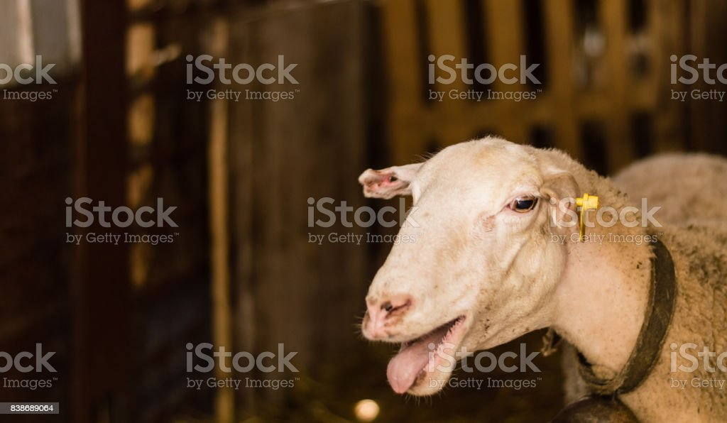 Sheep sold in the animal market for the sacrifice feast in Turkey. stock photo