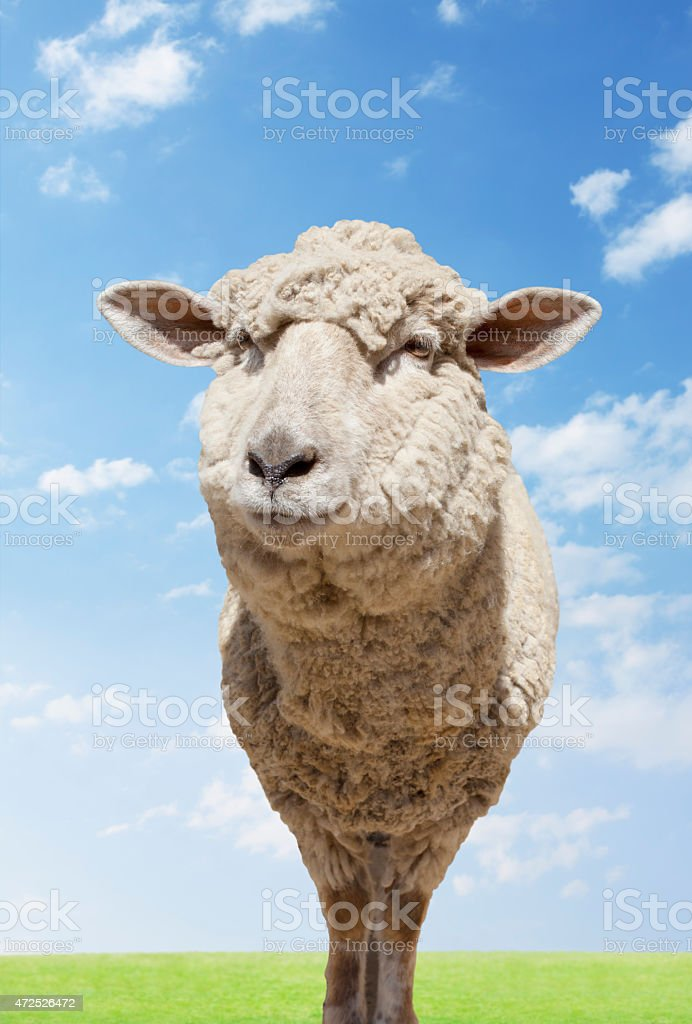 Sheep standing in field stock photo