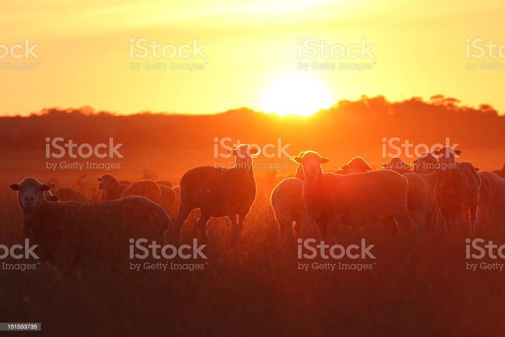 Sheep standing inside of the sunlight royalty-free stock photo