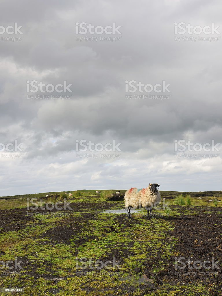 Sheep standing on peat turf royalty-free stock photo