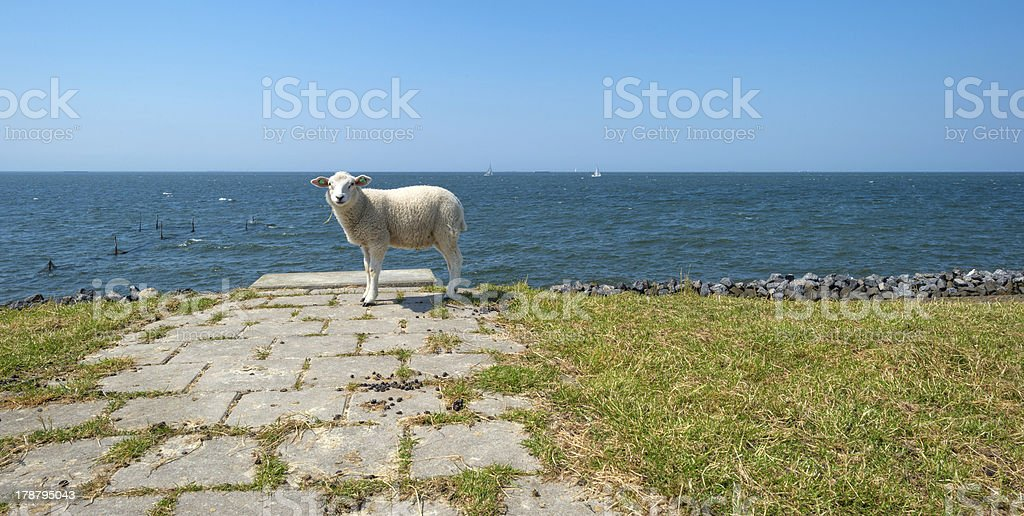 Sheep standing on top of a dam royalty-free stock photo