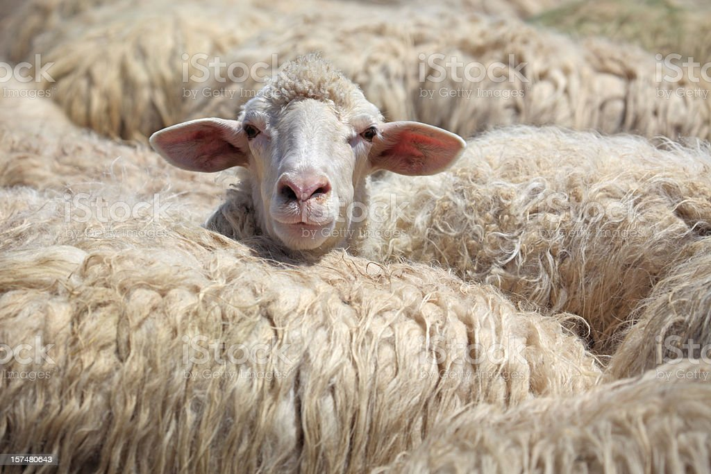 Sheep standing out from the crowd, Tuscany Italy stock photo