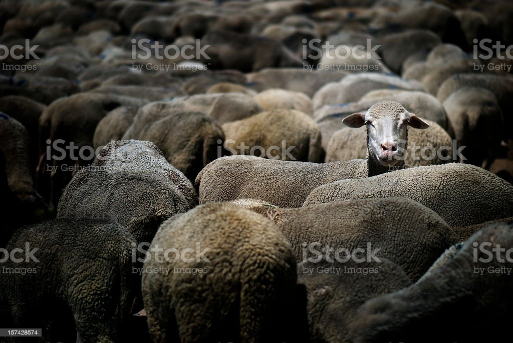 Sheep standing out stock photo