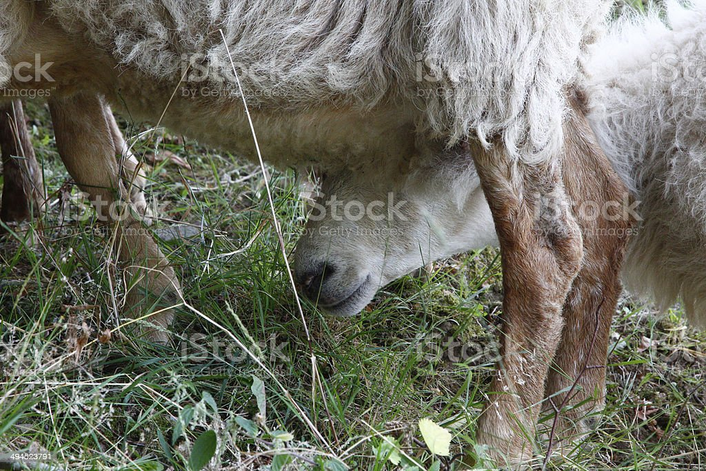 sheep sticks his head under another sheep stock photo