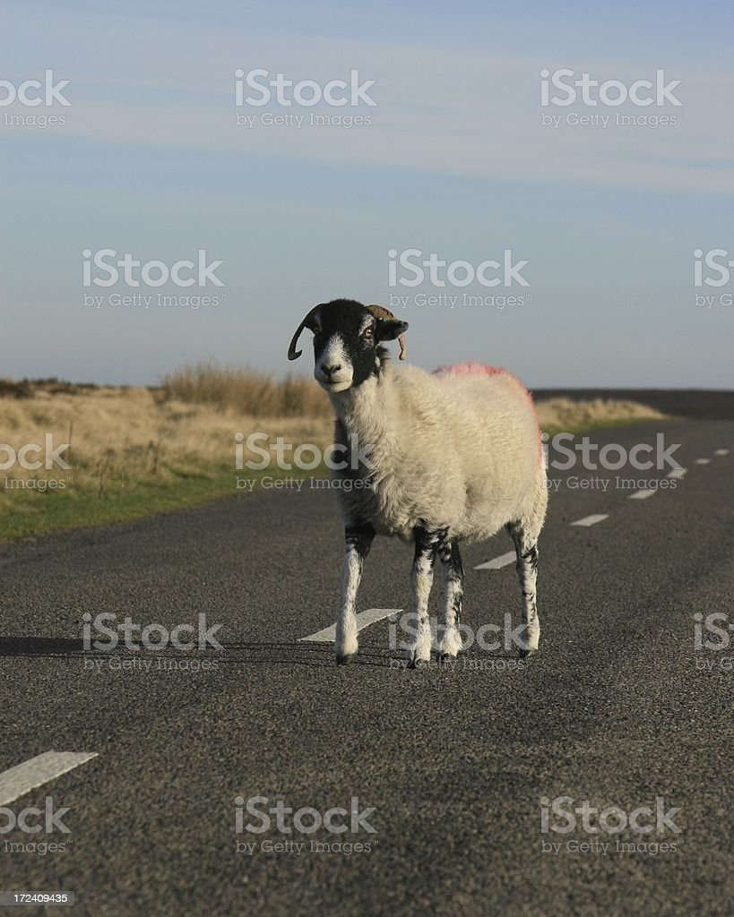 sheep stood in road stock photo