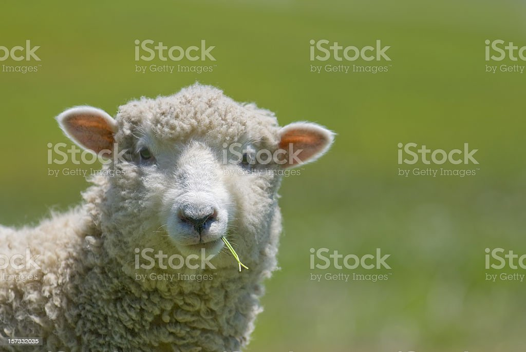 Sheep Strikes a Casual Pose stock photo