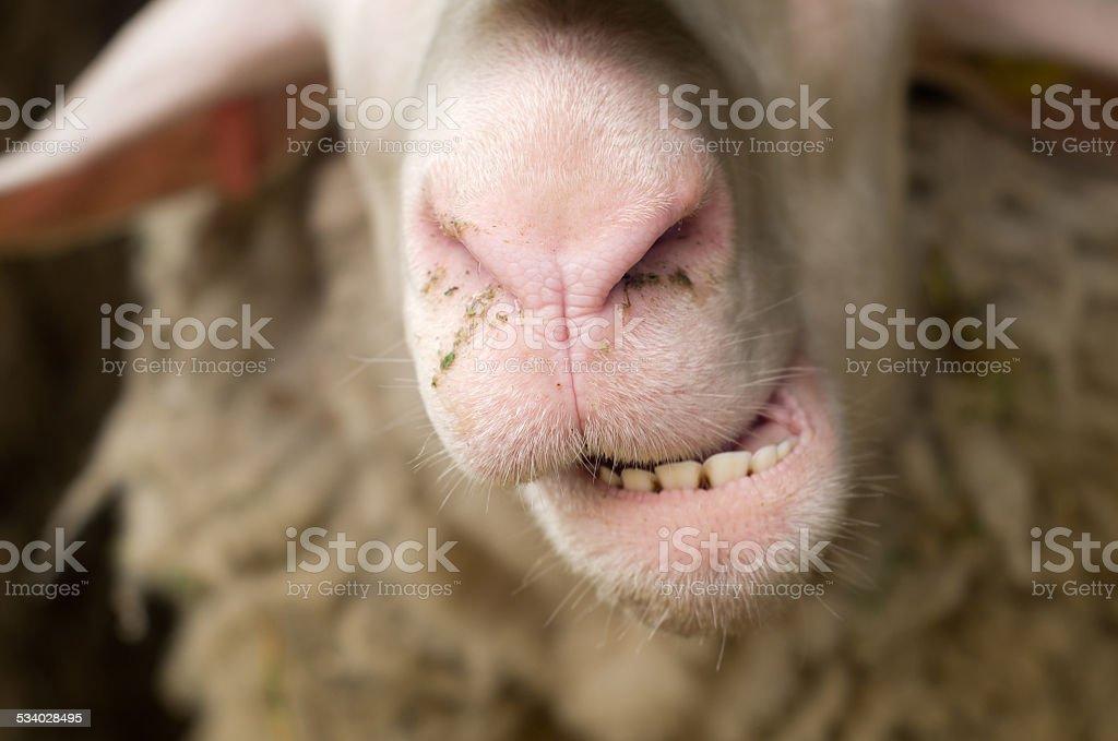 Sheep teeth stock photo