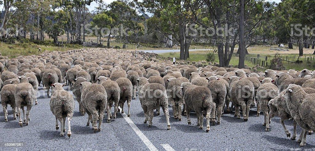 Sheep Traffic Down Under royalty-free stock photo