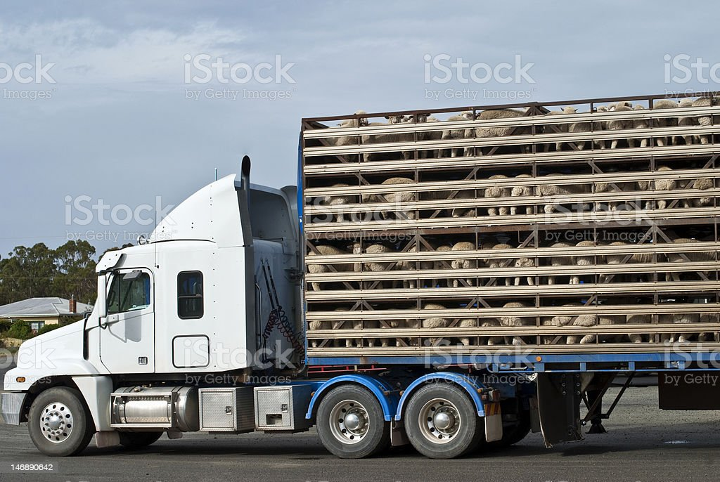Sheep transport vehicle with full load stock photo