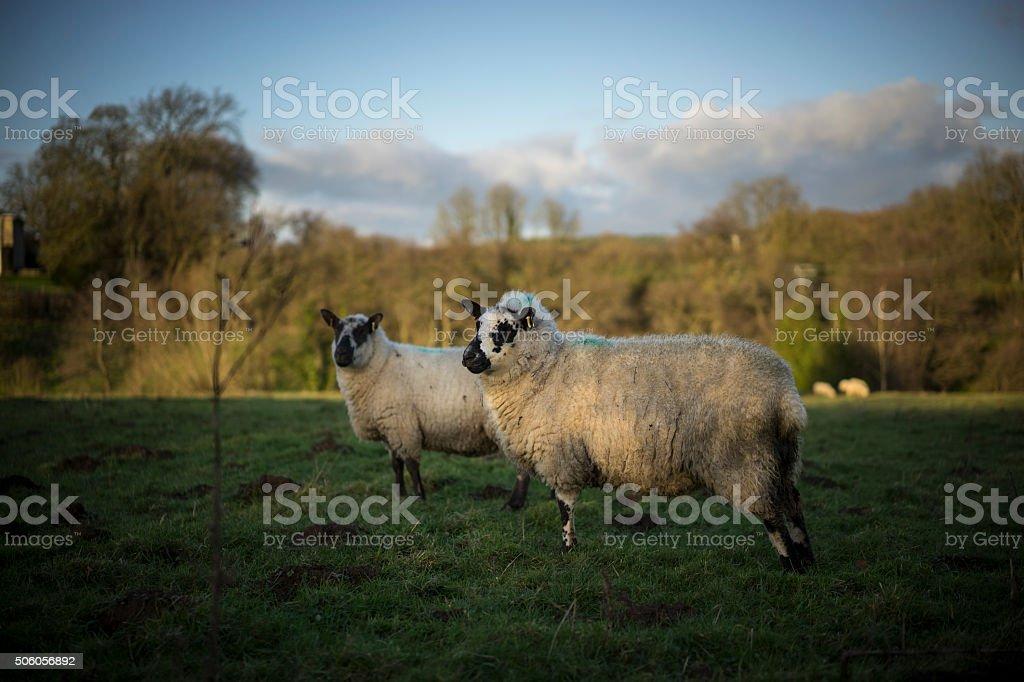 Sheep. UK stock photo