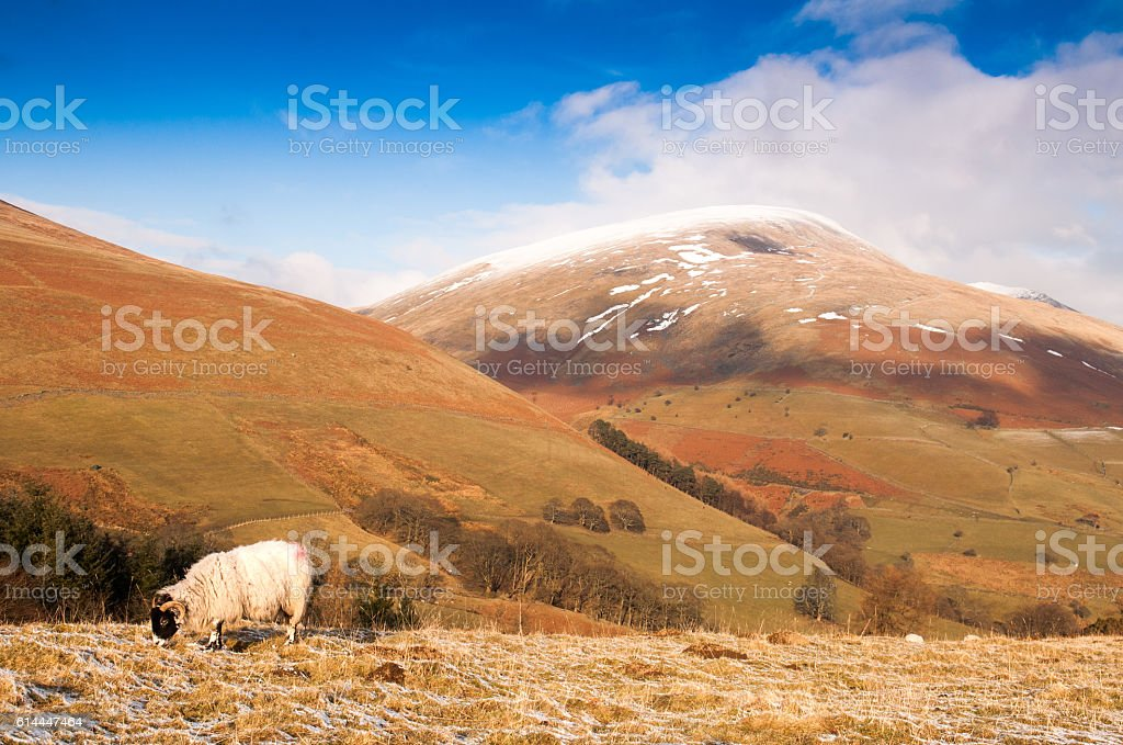 Sheep under Blencathra mountain stock photo