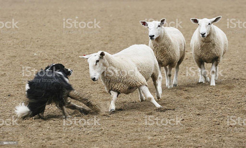 Sheep vs Dog royalty-free stock photo