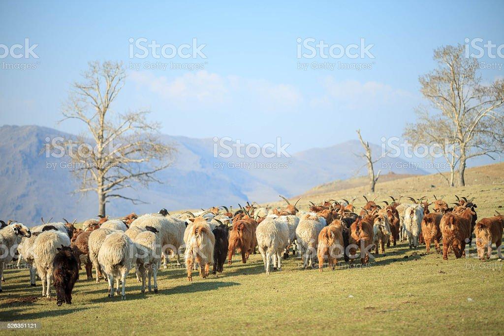 sheep walking away stock photo