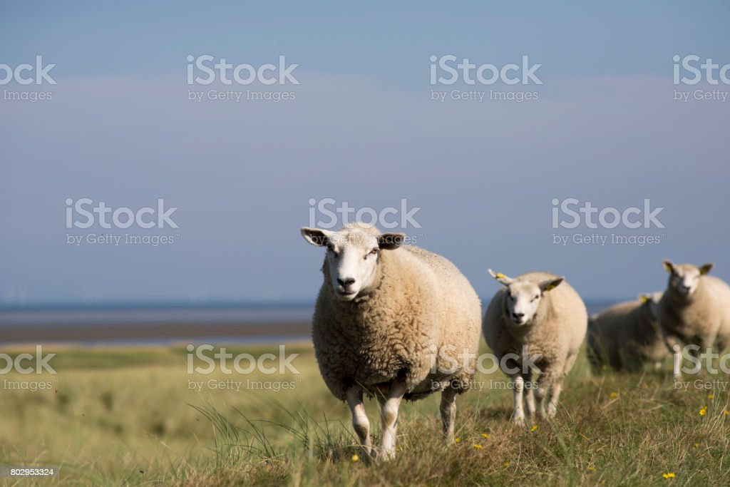 Sheep walking on dike stock photo