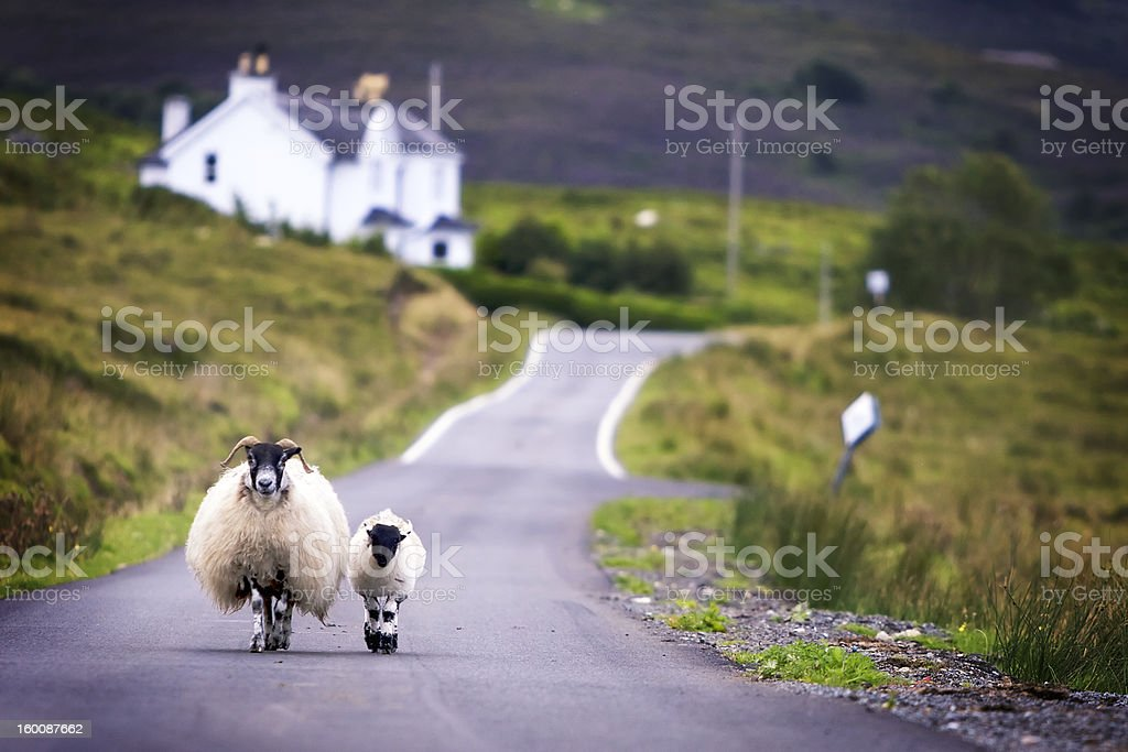 Sheep walking stock photo