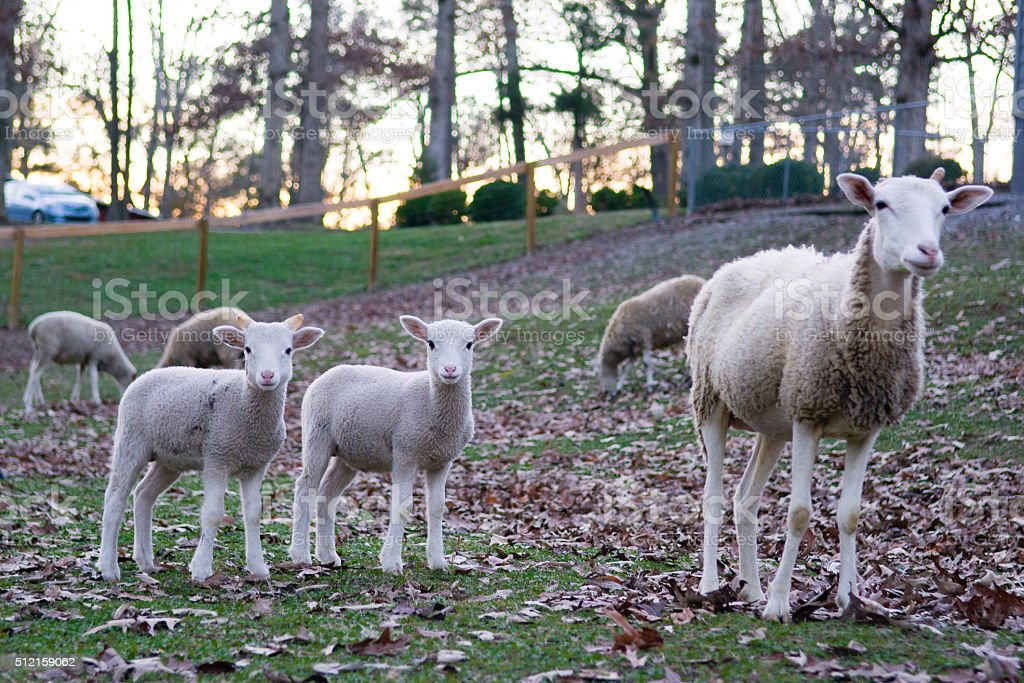 Sheep watches over her lambs stock photo