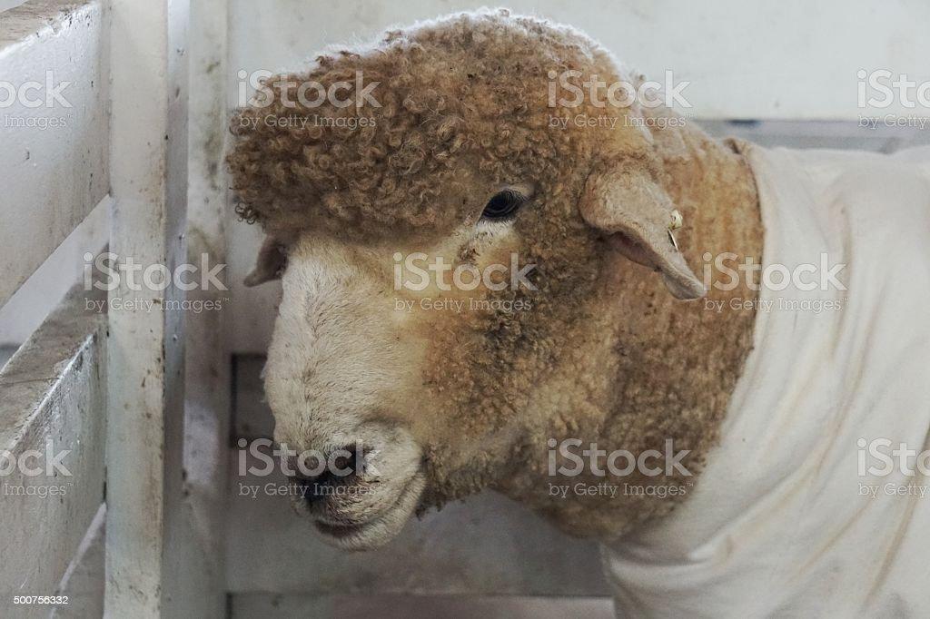 Sheep Wearing Coat Dress White Clothing in Fenced Pen stock photo