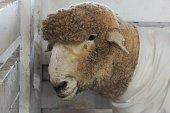 Sheep Wearing Coat Dress White Clothing in Fenced Pen