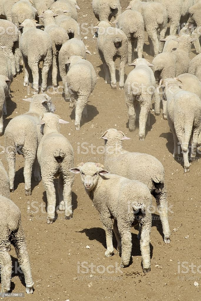 Sheep, West Texas, US royalty-free stock photo