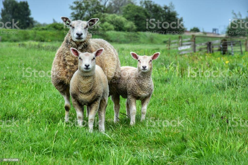 Sheep with 2 lambs stock photo