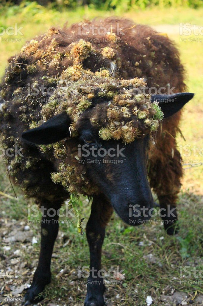 sheep with dense fleece covered with burs stock photo