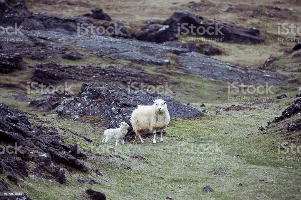 Sheep with her lamb stock photo