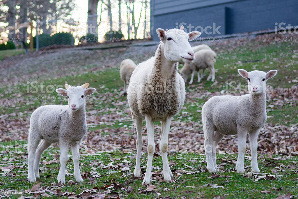 Sheep with her lambs stock photo